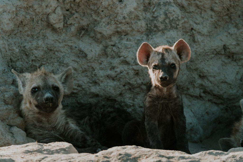 Baby hyena, taken with the Fuji 50-140 lens
